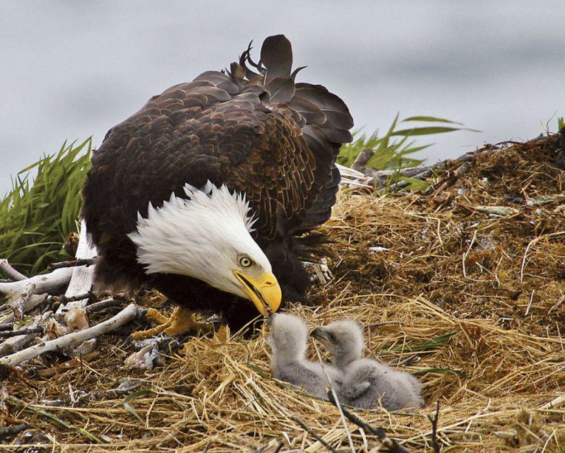 I suspect that a 25 year-old bald eagle in the wild is old, and a 30 year old eagle is very old. Q: Do the golden eagle babies look different from the bald eagle babies? A: .