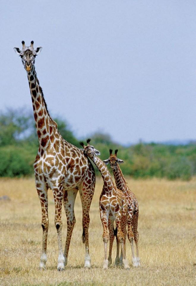 girafes_bebe