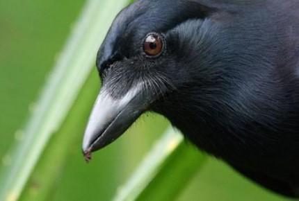 Joshua Klein – L'intelligence des corbeaux