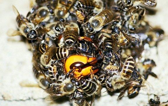 l tonnante technique de d fense des abeilles japonaises face au frelon asiatique. Black Bedroom Furniture Sets. Home Design Ideas