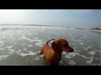 Le parcours difficile d'un crabe jusqu'à l'océan